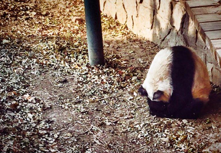 Giant Panda Zoo